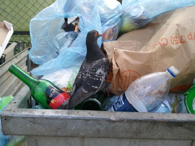 Gołąb w śmietniku 1